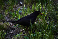 Blackbird (michal.zawolek95) Tags: blackbird grass worms katowice kattowitz silesia