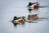 SnowShovelers (jmishefske) Tags: 2018 duck nikon littlemuskegolake bird wisconsin d500 northern muskego lake shoveler water idleisle april