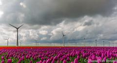 Tulpen in de Nop (Chantal van Breugel) Tags: landschap tulpenveld ijsselmeer espel flevoland noordoostpolder 2018 april lente canon5dmark111 canon1635