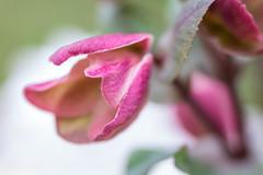 Lenten Rose (norasphotos4u) Tags: flowers macro ©noraleonard pink flowersplants canon5dmkiv lensbaby social flickr velvet85