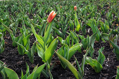 Yeay to the first tulip of Ottawa! (beyondhue) Tags: tulip flower bed ottawa ontario canada weather spring first beyondhue sun green leaf red stripe garden park