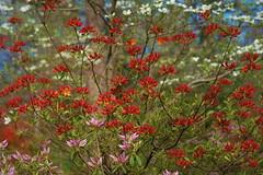 DSC07424 (2) (c.y.goeringer) Tags: azalea dogwood spring floral us national arboretum washington dc