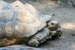 Tortuga (ruimc77) Tags: zoo zoológico chapultepec ciudad méxico cdmx df mexico city animal life nature naturaleza vida natureza zoologico nikon d810 nikkor afs 200500mm f56e ed vr tartaruga tortuga turtle