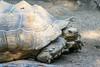 Tortuga (ruifo) Tags: zoo zoológico chapultepec ciudad méxico cdmx df mexico city animal life nature naturaleza vida natureza zoologico nikon d810 nikkor afs 200500mm f56e ed vr tartaruga tortuga turtle