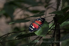 Euphaedra perseis (Hiro Takenouchi) Tags: ghana nymphalidae insect butterflies butterfly schmetterling papillon nymphalid wildlife nature africa limenitidinae euphaedra