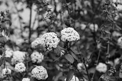 Schneeballen s/w (Frank Guschmann) Tags: schneeballen sw schwarzweiss blackandwhite frankguschmann nikond500 d500 nikon