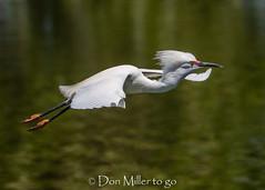 Snowy Egret - Breeding Plumage (DonMiller_ToGo) Tags: bird venicerookery wildlife rookery outdoors nature bif birds birdsinflight birdwatching egret d810 snowyegret florida