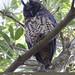 Stygian Owl, Asio stygius_199A1913