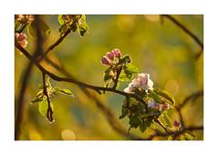 Frühling (PhotoChampions) Tags: spring season früfling jahreszeiten baum tree plant pflanze light licht