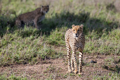 Where's he off to? (Ring a Ding Ding) Tags: acinonyxjubatus africa bigcat namiriplains serengeti tanzania cat cheetah nature pair predator safari walking wildcat wildlife shinyangaregion ngc