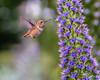 Hummingbird Ushers Spring (Jose Matutina) Tags: bird california flight flora flowers hummingbird huntingtonbeach nature orangecounty sel90m28g sonya7rii spring