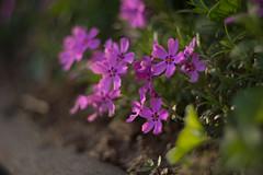 Purple beauty (PaulusMrazák) Tags: makro macro nature purple flowers rostlina květina příroda beauty awesome makrophotography macrophotography makrophoto macrophoto makrofoto macrofoto