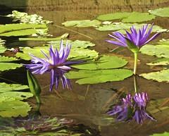 purple reflections... (mar-itz) Tags: waterlily sandiegozoo reflection flower nature color california sandiego plant aquatic leaf green live