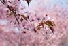 Cherry Blossoms (Helena Johansson 71) Tags: cherrytree cherryblossom blossoms cherry fruittree spring sweden swedishnature nikond5500 nikon d5500 småland pink