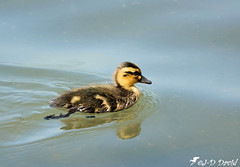 Bébé Colvert (jean-daniel david) Tags: bébé caneton canard colvert réservenaturelle reflet eau oiseau oiseaudeau lac lacdeneuchâtel yverdonlesbains volatile