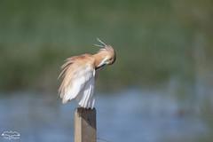 Dans les marais de La Doñana _ (mirage 31) Tags: andalousie ardeolaralloides ardéidés crabierchevelu espagne ladoñana pélécaniformes squaccoheron bird oiseau