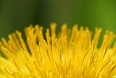Blüte (ibrahimissa1) Tags: