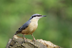 IMGP4575c Nuthatch, Barnwell C.P., April 2018 (bobchappell55) Tags: barnwellcountrypark northamptonshire wild wildlife nature bird woodland nuthatch sittaeuropaea