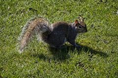 The Skinny One (MrBlueSky*) Tags: squirrel greysquirrel animal nature outdoor grass green colour kewgardens royalbotanicgardens london pentax pentaxart pentaxlife pentaxawards pentaxflickraward pentaxk1mkii aficionados