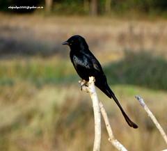 DSC00869 Black Drongo (Dicrurus macrocercus) (vlupadya) Tags: greatnature animal aves fauna indianbirds black drongo dicrurus malyadi karnataka