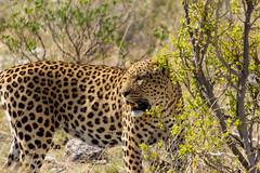IMG_3737 (tregnier) Tags: namibia roadtrip africa travel desert animals sossusvlei leopard cheetah lion solitaire trip