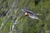Apparition de l'oiseau à barbe noire (mirage 31) Tags: aragon espagne gypaètebarbu pyrénesespagnoles