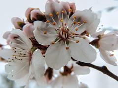 Fruity Blossoms (clarkcg photography) Tags: flora floral blossoms flowers pollen bees scent sky stem branch pistil stamen petal florafriday fridayflora 7dwf