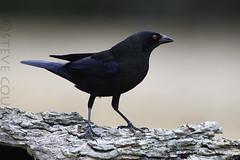 bronzed cowbird (Steve Courson) Tags: santaclararanchtexas bronzedcowbird stevecourson texas