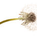 Dandelion on white