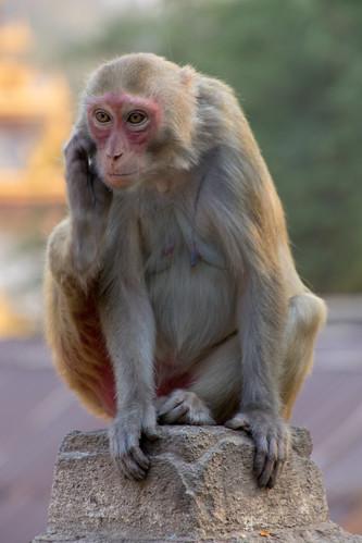 The Thinker Monkey - Myanmar