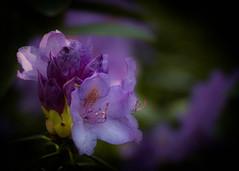 Happy Mother's Day! (ursulamller900) Tags: pentacon26100 rhododendron mygarden purple bokeh