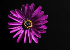 African daisy (Antti Tassberg) Tags: lowkey macro macromondays kasvi african tähtisilmä daisy kukka osteospermum 100mm flower lens plant prime