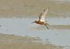 Flying Curlew Sandpiper... (Anirban Sinha 80) Tags: nikon d610 fx 500mm f4 ed vrii g n bird wader sandpiper bokeh sea shore beak foraging nature wings inflight 17xtc 850mm