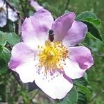 Rosa canina thumbnail