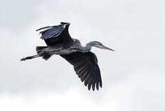 Focus and............ (kc02photos) Tags: greyheron ardeacinere abberton suffolk england uk olympus omdem1markii 300mmf4pro birdphotography