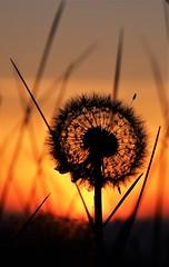 Dandelion Sunset (busmender1964) Tags: dandelion sunset dandelionsunset seedheads