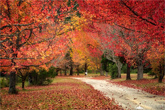 Brilliance of The Fall (Darkelf Photography) Tags: blue mountains nsw newsouthwales australia autumn fall foliage leaves landscape rural path travel nature trees canon nisi 24105mm 5div maciek gornisiewicz darkelf photography brillianceofthefall 2017