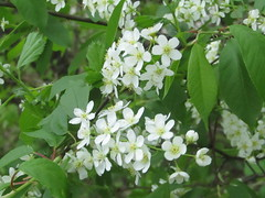blossom of bird-cherry tree (VERUSHKA4) Tags: canon europe russia moscow city ville view vue park outdoor nature spring springtime primavera may printempes birdcherrytree petal flora fleur pistil stamen leaf white green verdure branch