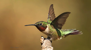 Colibri à gorge rubis \ Ruby-throated Hummingbird