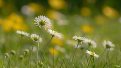 Au ras des pâquerettes !! (thierrymazel) Tags: fleurs flowers pâquerettes daisy bokeh pdc dof printemps spring profondeurdechamp