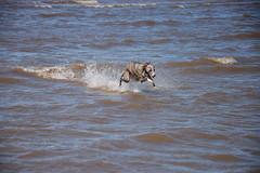 170731 Hunstanton-0137 (whitbywoof) Tags: rupert rescue pet dog whippet staffie lurcher water sea run fun splash