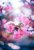 ILCE-7M2-09685-20180514-1822 // Vivitar VMC Auto 55mm 1:1.4 (Tomioka) (Otattemita) Tags: 55mmf14 florafauna vivitarcosina vivitartomioka vivitarvmc vivitarvmcauto55mmf14 fauna flora flower nature plant wildlife vivitarvmcauto55mm114tomioka sonyilce7m2 ilce7m2 sony cnaturalbnatural 55mm