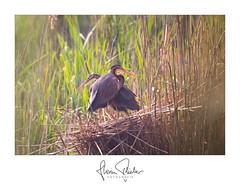 Purpurreiher (florianpluecker) Tags: natur nature birding wildlife germany deutschland badenwürttemberg sigma canon purple heron reiher purpurreiher