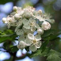 Bloesem (Geziena) Tags: bloem bloesem voorjaar lente natuur tak bokeh