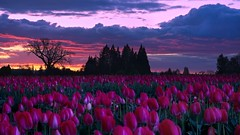 Tulip Field Sunset 6905 B (jim.choate59) Tags: on1pics jchoate tulip field woodenshoetulipfarm sunset spring bluehour oregon willamettevalley d610 woodburnoregon clouds