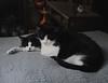 Tuxedo pile up (on Hwy Dog Bed) (rootcrop54) Tags: tina female tuxedo cat idaho male tuxedos multiple cats dogbed catbed neko macska kedi 猫 kočka kissa γάτα köttur kucing gatto 고양이 kaķis katė katt katze katzen kot кошка mačka gatos maček kitteh chat ネコ black white
