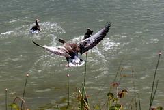 Graugans (ivlys) Tags: rheingau oestrichwinkel rhein rhine fluss river graugans greygoose vogel bird tier animal natur nature ivlys