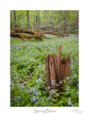 Spring Blues (baldwinm16) Tags: il illinois may bluebells flower forest midwest nature naturepreserve season spring springtime wildflower wildflowers woodland woods