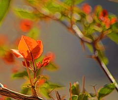 I MUST HAVE FLOWERS, ALWAYS, ALWAYS (Irene2727) Tags: flowers flora nature orange boken branch bougainvillea leaves