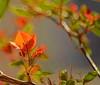I MUST HAVE FLOWERS, ALWAYS, ALWAYS (Irene2727) Tags: flowers flora nature orange boken branch bougainvillea leaves